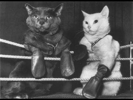 Cat Boxing
