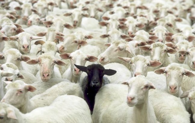 A black sheep amongst white sheep
