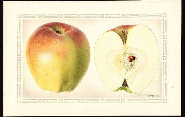 Indo apple