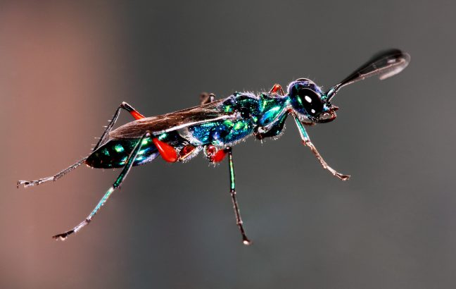 The emerald cockroach wasp: a true parasite