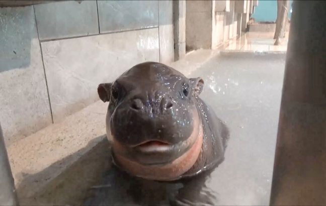 Tam Tam, the pygmy hippo looking at the camera