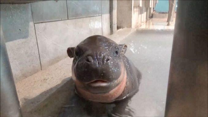 Tam Tam, the pygmy hippo looking at the camera